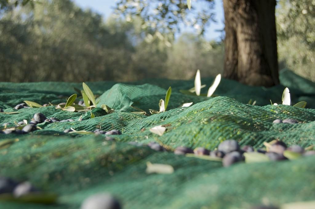 2017 produzione Olio Toscana di Villa Campestri Olive Oil Resort