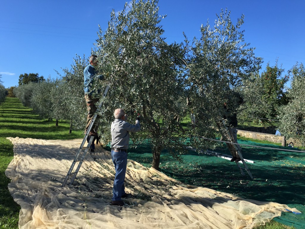Oil Production and Phases of Villa Campestri Olive Oil Resort