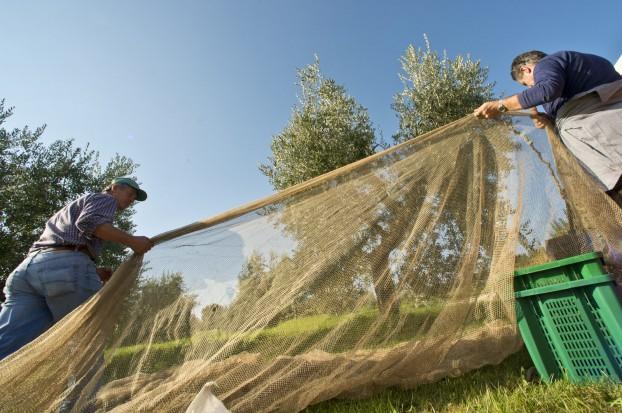 Olive harvest at Villa Campestri Olive Oil Resort