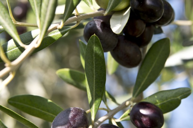 Villa Campestri Olive Oil Resort_oliveta