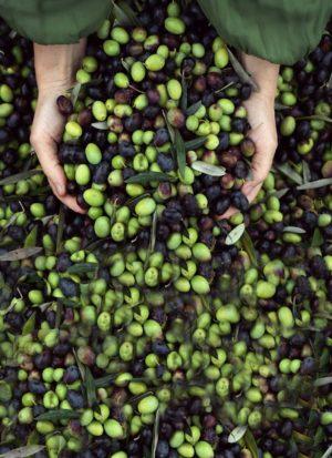 Olive dell'olio extravergine di oliva di Villa Campestri Olive Oil Resort